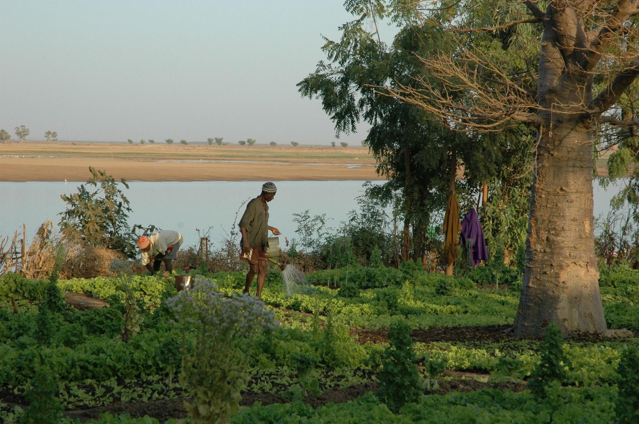 Un îlot de verdure/Mopti/Mali Février 2007